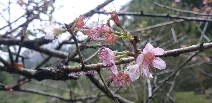 Pucuk Bunga Sakura Taman Sakura