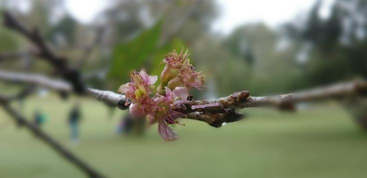 Tunas Bunga Sakura