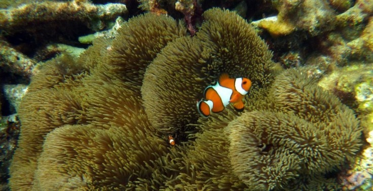 Snorkeling berburu nemo di Kepulauan Karimunjawa menjadi agenda wajib saat ke pulau ini