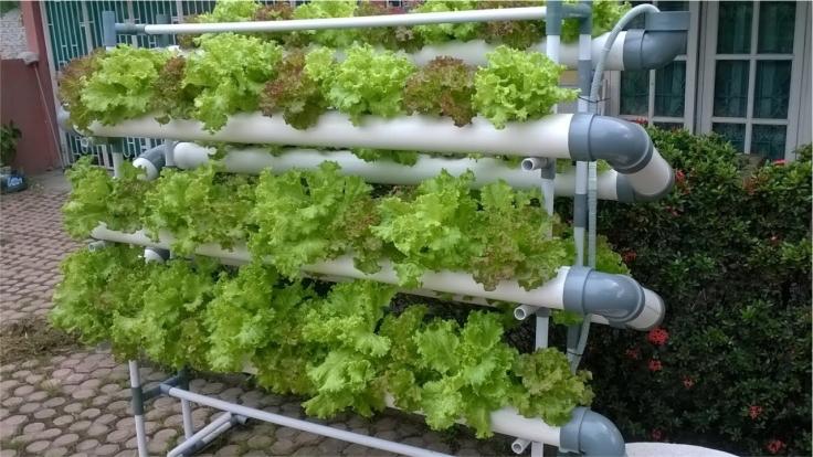 Pemanfaatan lahan sempit dengan hidroponik paralon
